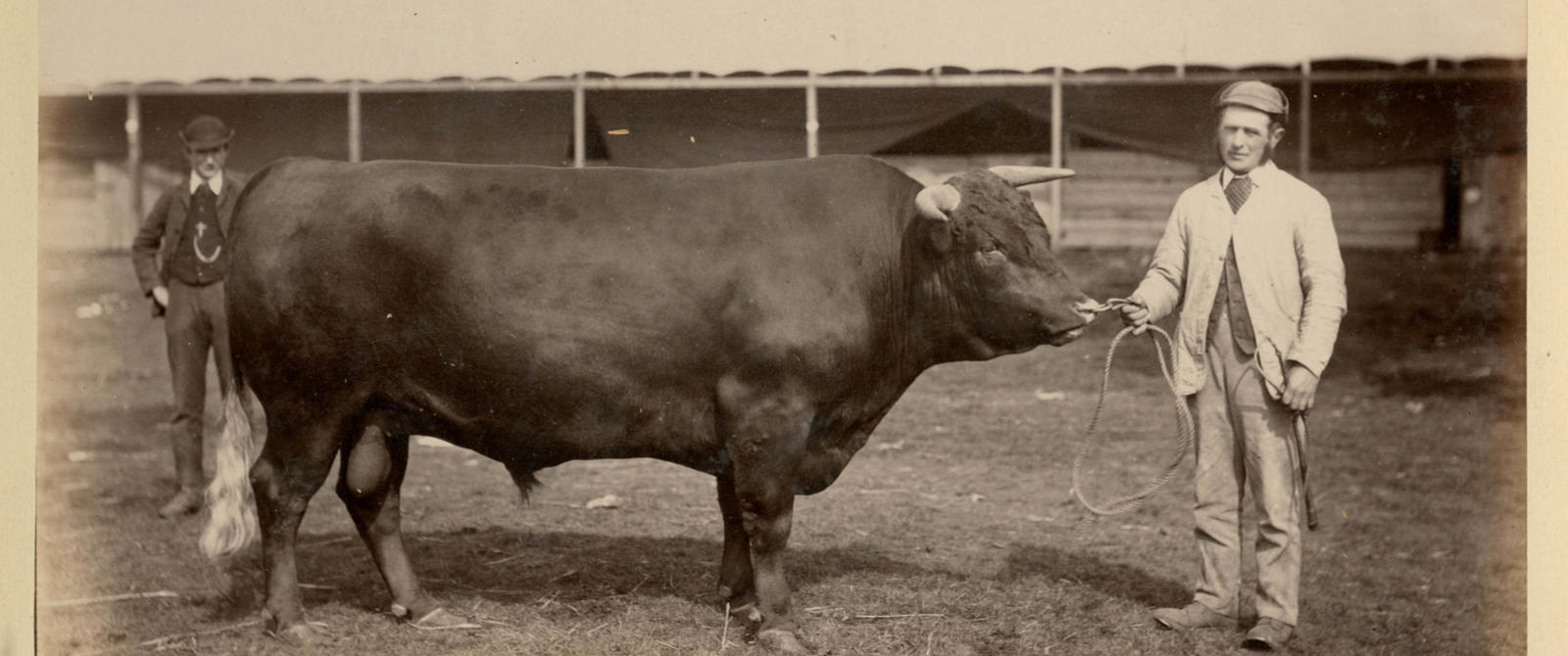Bull at the Bath & West Show 1886